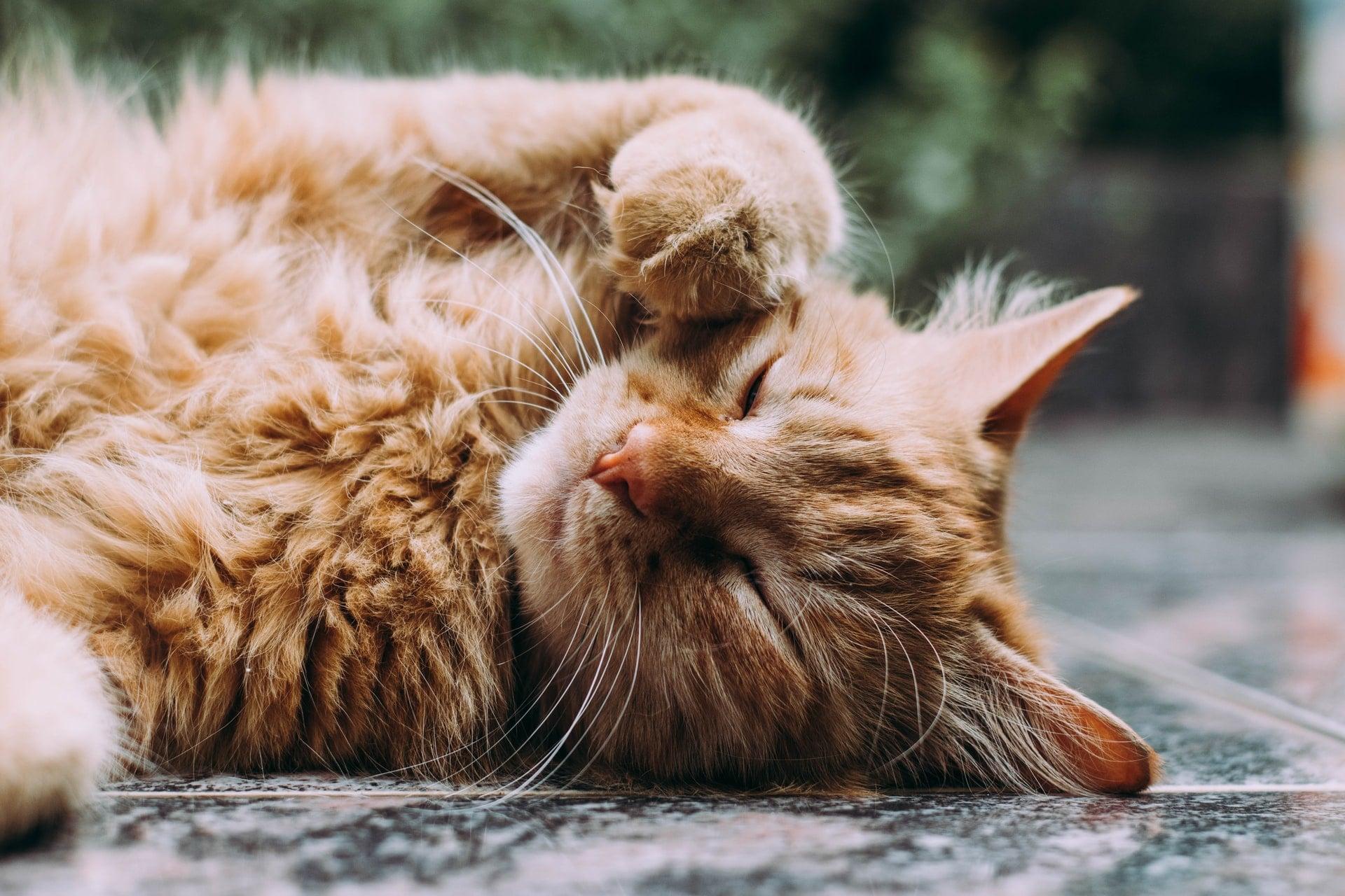 Så mycket kostar det att vaccinera en katt